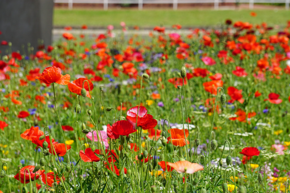 """Wildflower meadows """"on the verge"""" of a comeback!"""