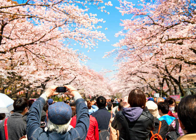 Japan's cherry blossom  – a poetic reminder of the impermanence of things